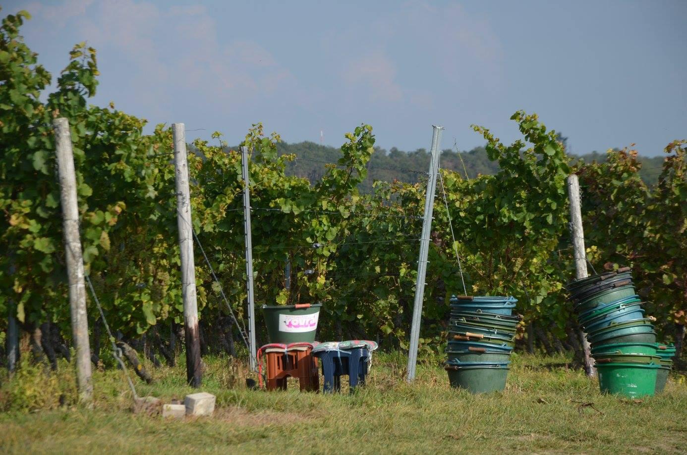 Eimer vor Weinberg bei der Traubenlese